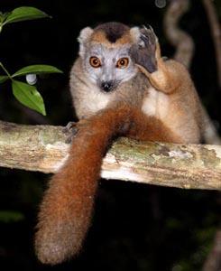 Lemur22