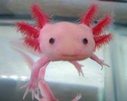 Axolotl-mexican-04
