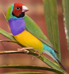 Rainbowfinch