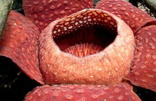 Plant-rafflesia1