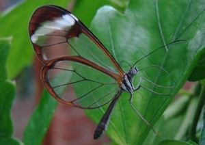Glasswing3