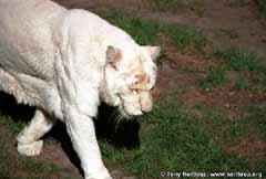 Albinotiger2