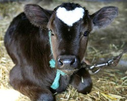 Heartcow