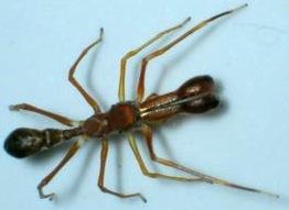 Myrmarachne-plataleoides