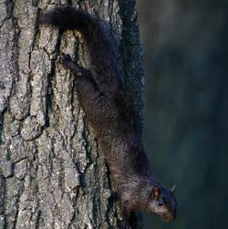 Blksquirrel