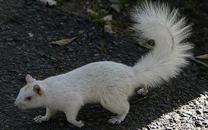 AlbinoSquirrel_14