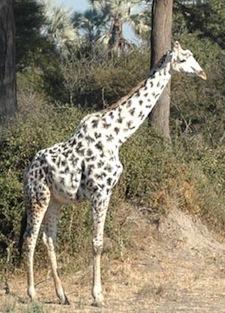 Giraffe-leucistic tall