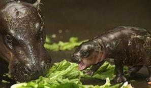 Baby_Pygmy_Hippo_4