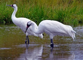 Whooping cranes_(1)