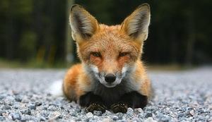Foxkit