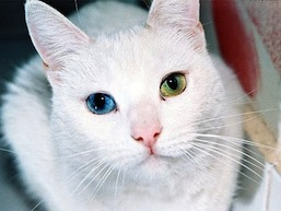 Heterochromia+in+Animals+2