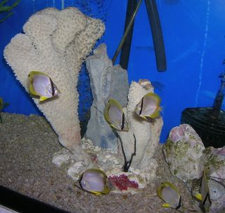 Spotfins