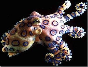 BlueRingedOctopus_thumb