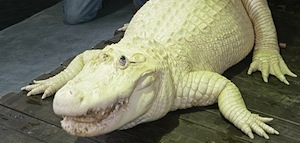 Leucistic alligator