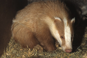 Red -erythristic- badger