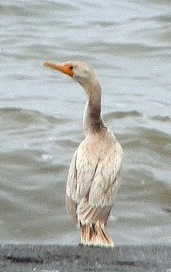 Leucistic cormorant 2010-10-04_234123