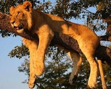 Lion-on-tree