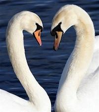Swans_021307