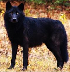 Melanistic wolf