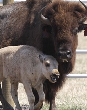 Buffalo bison white leucistic calf born 20110701