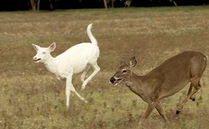 Albino deer franklin