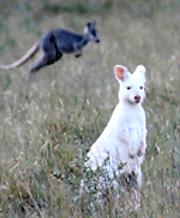 Albino wallaroo