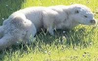Albino Otter