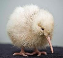 Leucistic kiwi chick