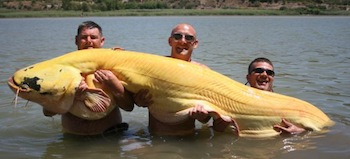 Albino catfish spain 194lbs 20110731