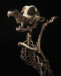 Claskeleton