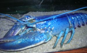 1#bluelob