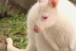 Kangaroo-albino