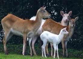 Albino Kafue Flats lechwe antelope 2012-05-27