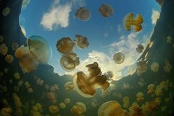 Jellyfish-lake-6