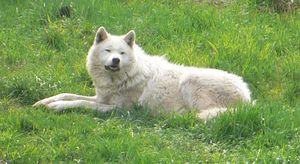 Wolf_20080525