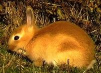 Erythristic rabbit x 2012-03-13_165802-(1)-245-162