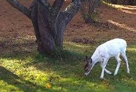 Leucistic piebald deer maine 20111028