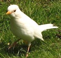 Whiteblackbird