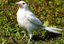 Albino_1502377c