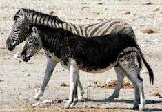 Melanistic-black-zebra