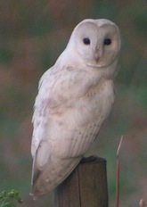 Leucistic barn owl Dave Appleton flickr 2010-04-04_011004
