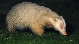 Albino badger 20121123-636x359