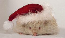 Albino hedgehog decked out for xmas christmas20121222