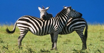 Zebra pics (39)