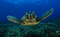 Green-seaturtle-1