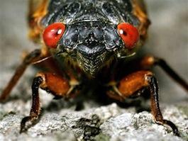 Ss-130410-cicada-invasion-tease.photoblog600