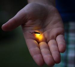 Firefly_glow