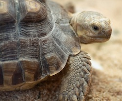 Centrochelys_sulcata_-_closeup_on_head