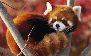 Red-panda19-1024x768
