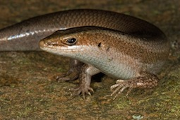 New-species-skink-discovered-caribbean-carrot-rock_52497_600x450